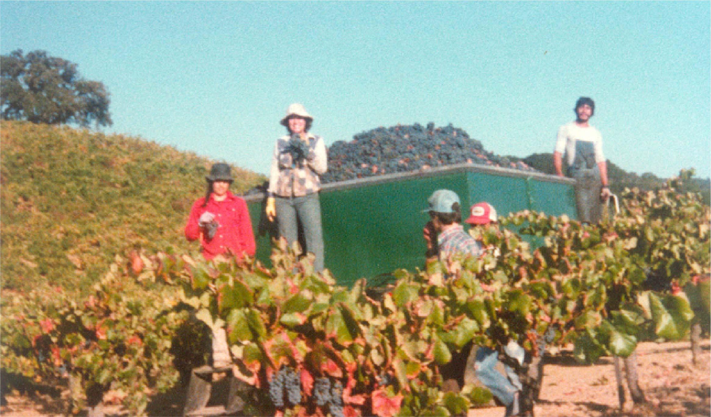 Vineyard workers harvesting Old Vine Zinfandel.