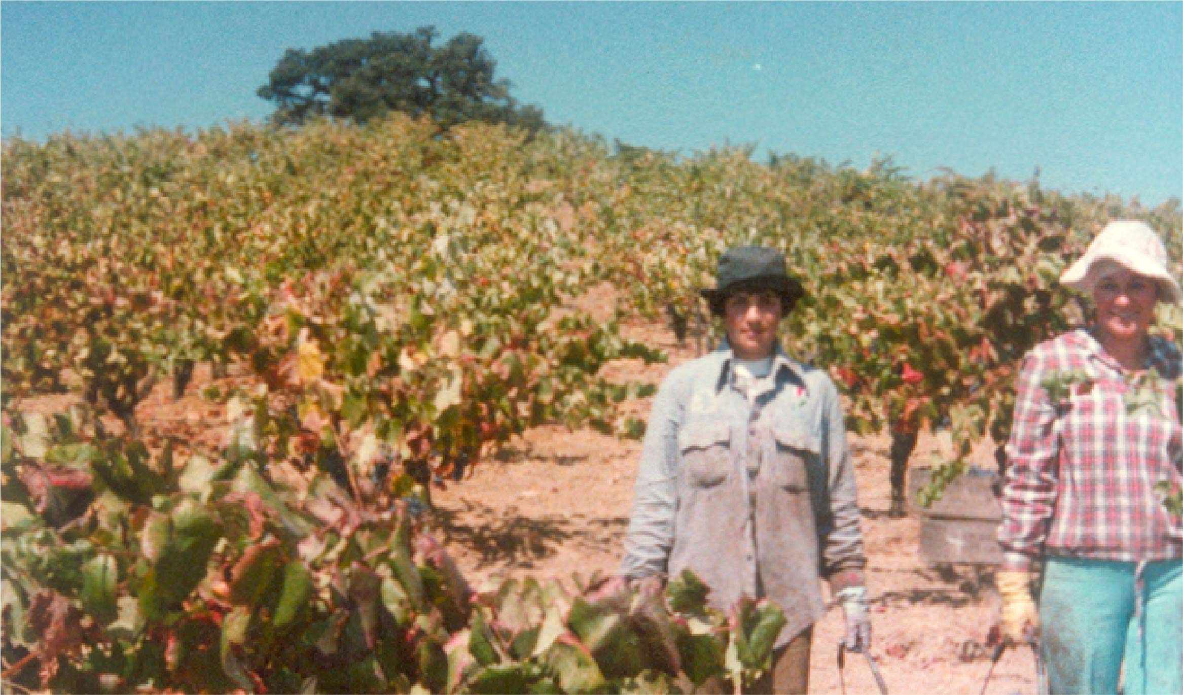 Two vineyard workers amongst the vines.